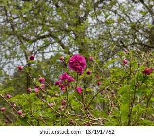Spring Flowers of Rubus spectabilis 'Olympic Double' (Salmonberry) in a Woodland garden Landscape in Rural Devon, England, UK