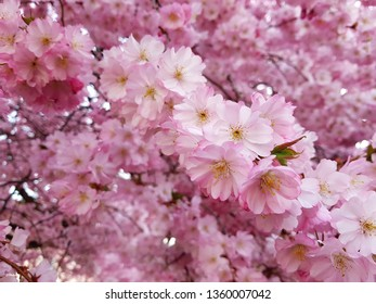 Spring flowers of sakura. Cherry blossoms in spring. Nature backgropund.