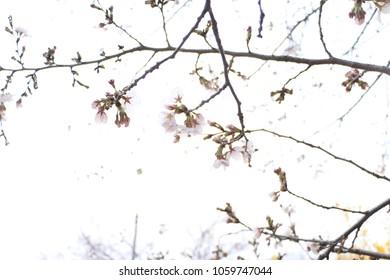 Spring flowers season in Korea