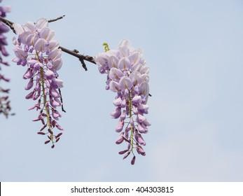 Spring flowers series, wisteria trellis