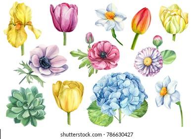spring flowers set watercolor, botanical illustration, tulips, daffodils, daisy, hydrangea, iris, anemones, succulent