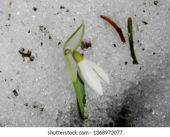 Spring flowers of snowdrops in the snow