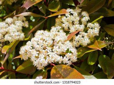 Spring flowers of Spiraea betulifolia