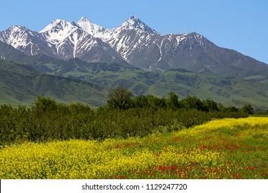 Spring flowers with Tien Shan mountains in the background, Bishkek, Kyrgyzstan.