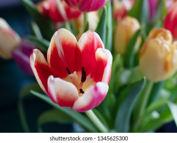 Spring Flowers: Tulip Close-up, shallow depth of field