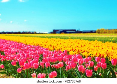 Spring flowers. Spring tulip field. Spring floral background. Bright spring flowers tulips.