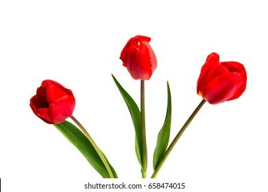 spring flowers tulips isolated on white background. Red