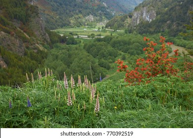 Spring flowers in the valley of the River Simpson on the route of the Carretera Austral in northern Patagonia, Chile.