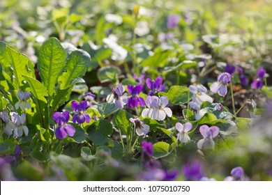 Spring flowers. Viola flowers blossoming in the forest.Nature background for advertising natural products for skin care and body care,herbal medicine