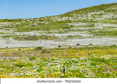 Spring flowers in West Coast National Park - Cape Town - South Africa