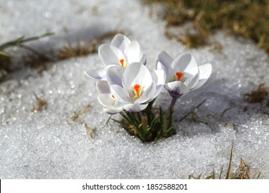 Spring flowers - white crocuses bloom in the park in April, a beautiful template for a web screensaver. Snow shiny cover melts near primroses, Easter card design.