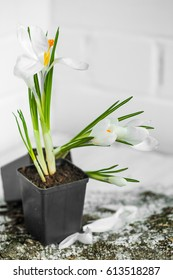 spring flowers white Crocuses in a little black pot on white wooden background, concept of spring and flowers