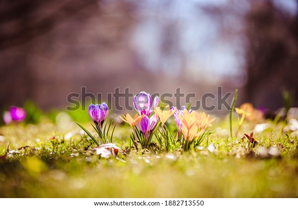 Spring flowers in the wild nature. Crocus in spring time. Copy space, ideal for postcard.