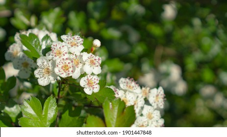 Spring flowers. Wiosenne kwiaty na łące - Shutterstock ID 1901447848