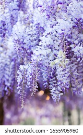 Spring flowers. Wisteria tree blooming in sunset garden. Beautiful flowering trellis blossom in Japanese park.