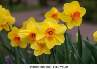 Spring flowers yellow daffodils. beautiful yellow flowers.