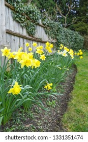 Spring flowers, yellow daffodils in a flowerbed in a backyard