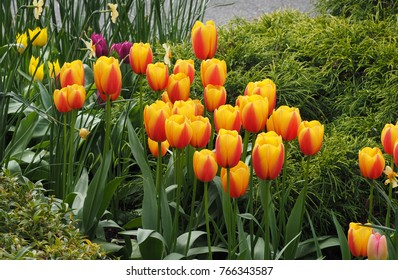 Spring flowers, yellow red orange tulips in garden in sunshine, lush green leaves
