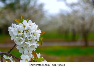 spring flowes