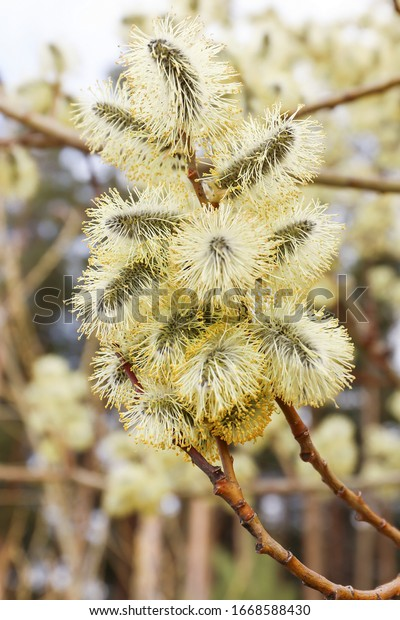 spring-fluffy-blossoming-willow-inflores