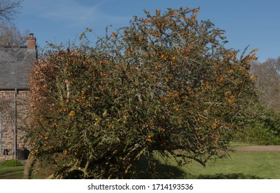 Spring Foliage and Bright Orange Flowers of Darwin's Barberry Shrub (Berberis darwinii) Growing in a Garden in Rural Devon, England, UK