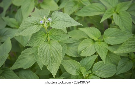 Spring Foliage of Chia, healthy organic herb Salvia, with new purple flower blossoms