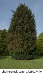 Spring Foliage of a Coniferous Evergreen Leylandii or Leyland Cypress Tree (Cupressus x leylandii) Growing in a Garden in Rural Devon, England, UK