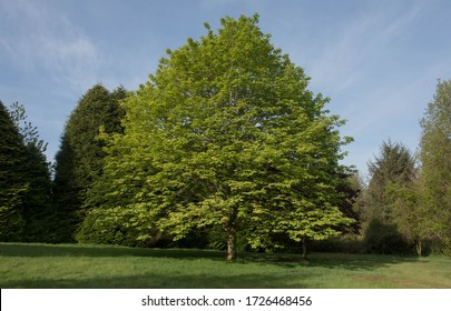 Spring Foliage of a Deciduous Sycamore Tree (Acer pseudoplatanus) Growing in a Garden in Rural Devon, England, UK