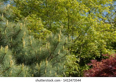 Spring Foliage of a Dwarf Eastern White Pine Tree (Pinus strobus 'Compacta') in a Garden in Rural Devon, England, UK