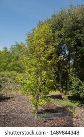 Spring Foliage of Liquidambar styraciflua 'Slender Silhouette' Tree (Sweet Gum) in a Woodland Garden in Rural Devon, England, UK