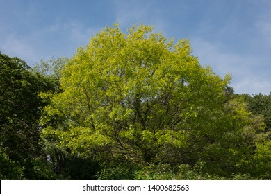 Spring Foliage of the Scarlet Oak Tree (Quercus coccinea) in a Woodland Garden in Rural Devon, England, UK