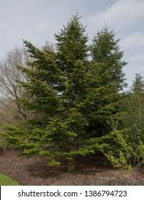 Spring Foliage of Veitch's Fir Tree (Abies veitchii) in a Woodland Garden in Rural Devon, England, UK