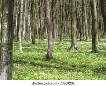Spring Forest with Anemone