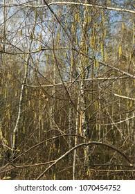 spring forest, birch