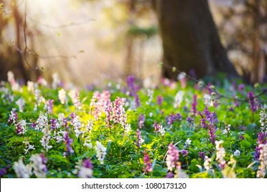 Spring forest with blooming Corydalis cava flowers