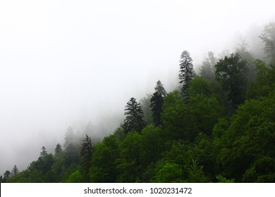 Spring forest in Carpathian mountains with heavy fog