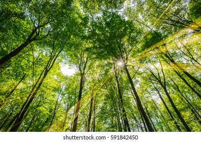 Spring, forest of deciduous trees illuminated by sunbeams through the green treetops.