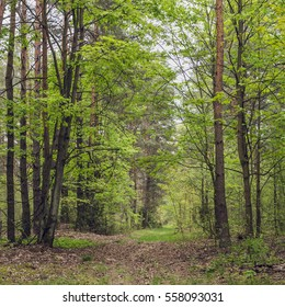 Spring forest with first green leaves
