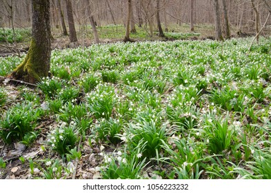 Spring forest full of wild flowering Snowdrops (Leucojum vernum)