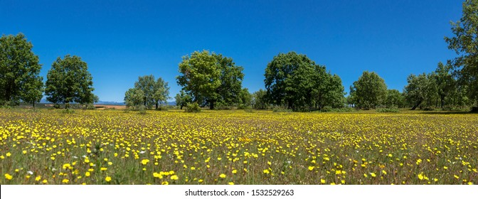 Spring forest landscape, with the ground full of yellow wild flowers and oak trees