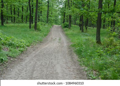 Spring forest landscape with path and Oak trees