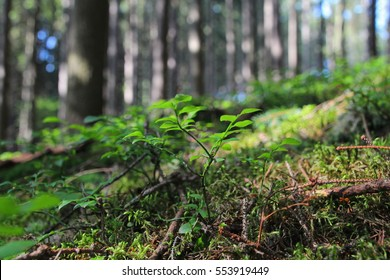Spring forest scene with blueberry bushes