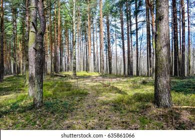 Spring forest tree landscape. Spring nature forest background