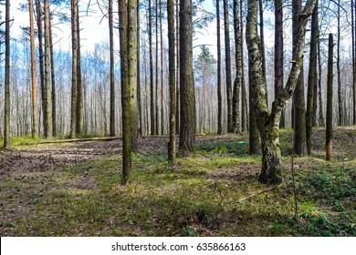 Spring forest trees landscape. Spring forest background