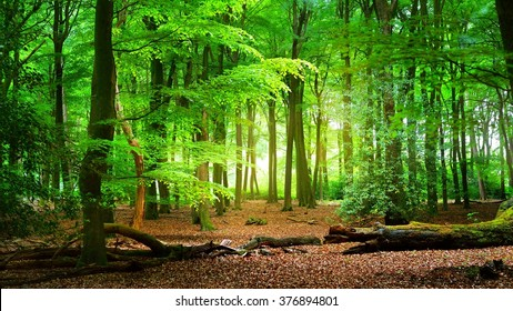 Spring forest Veluwe, the Netherlands