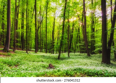 Spring Forrest. Fresh Green Woods in the Forest of Franconia, Germany. Blooming wild garlic