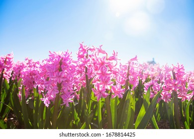Spring fragrant colorful flowers hyacinths. Hyacinth field. Spring floral background.