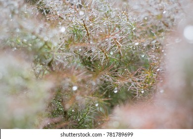 Spring fresh background with dewy branches of  conifer tree