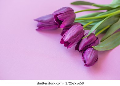 spring fresh tulips on violet background for mother's day, valentine, easter holidays postcard invitation