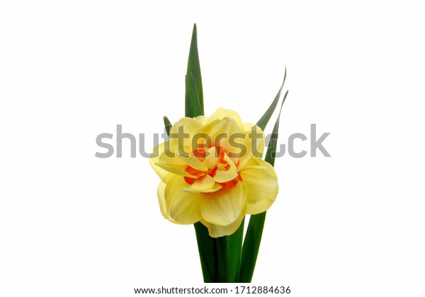 Spring fresh yellow and white daffodils isolated